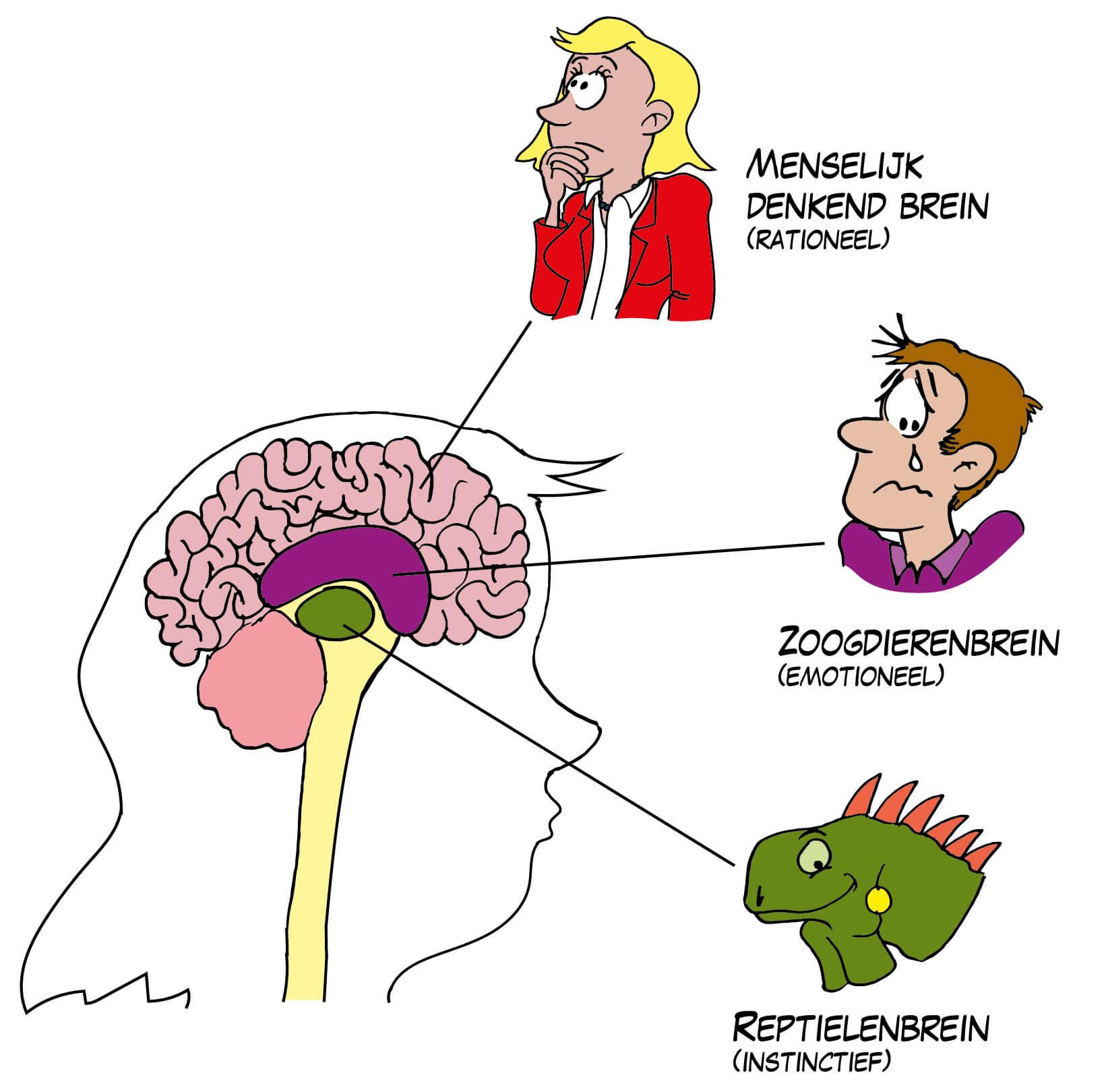3 onderdelen hersenen